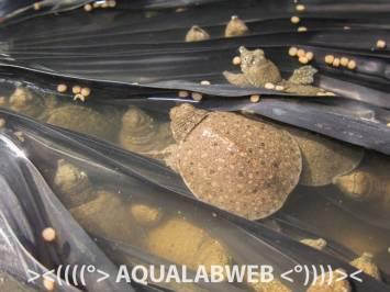 juveniles of Chinese soft-shell turtle Pelodiscus sinensis in hand, fish farm near Phnom Penh, Cambodia